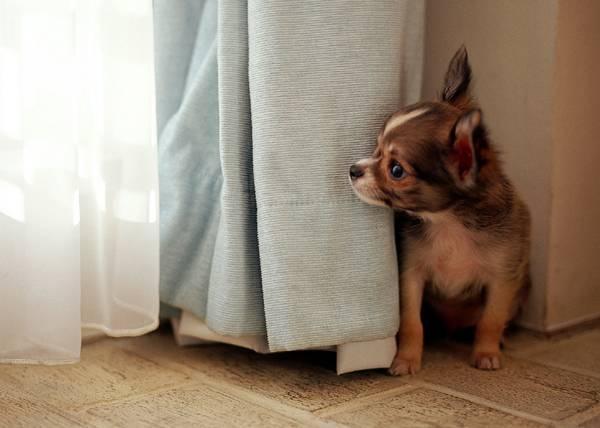 Маленькая собачка боится