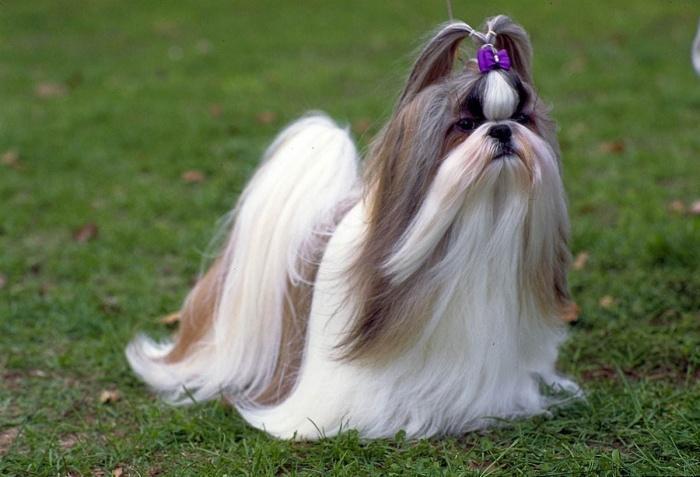 собака с сиреневым бантиком