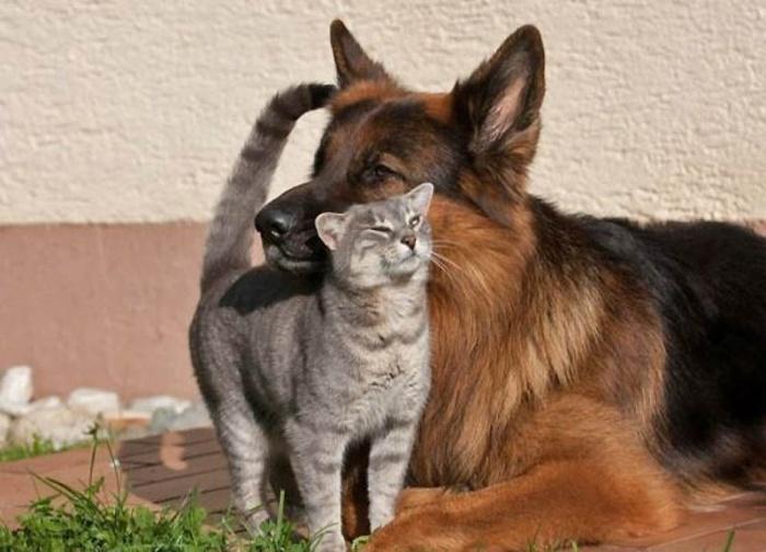 овчарка и котик