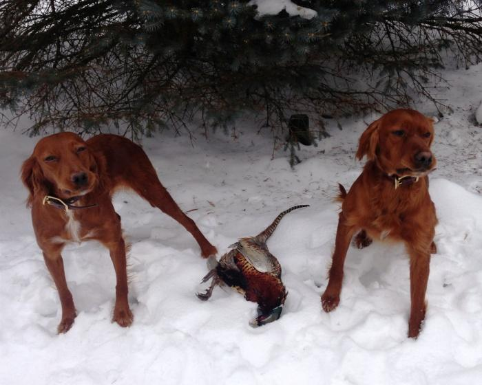 охота с сеттерами