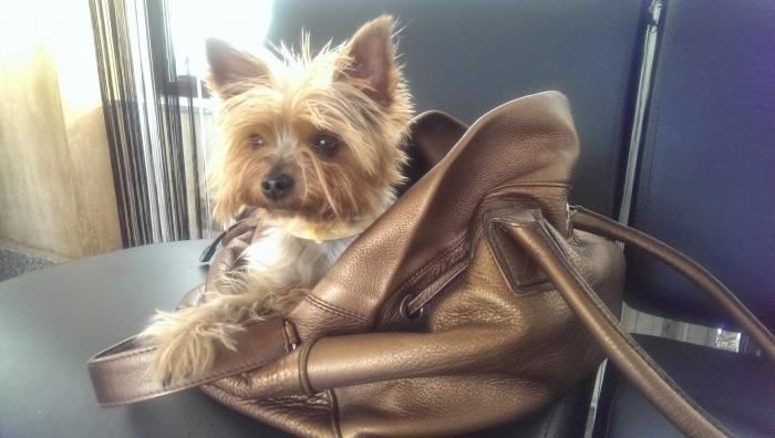 маленькая собака в сумочке