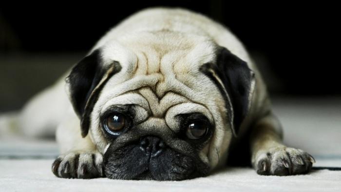 скучающая собака