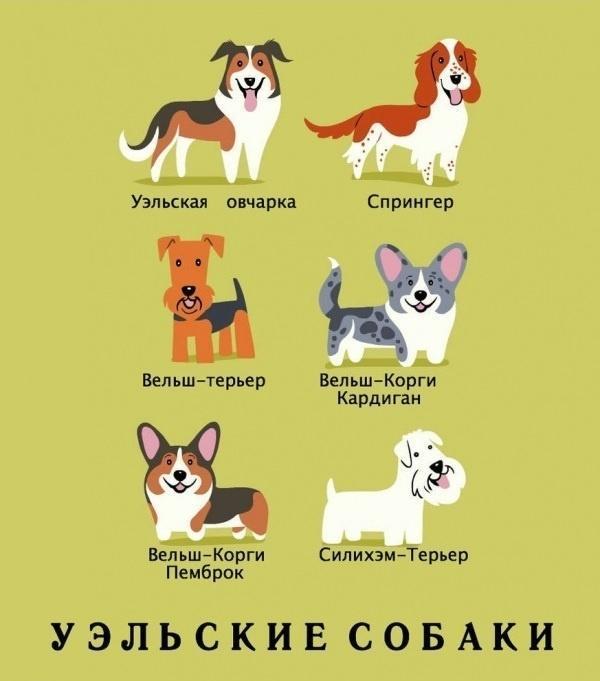 уэльские собаки