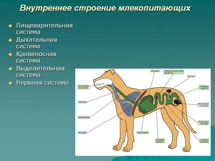 внутреннее строение собак