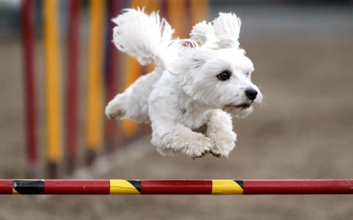 собачка учится прыгать через барьер