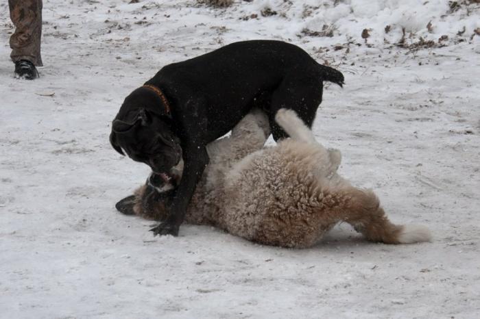 две собаки играются