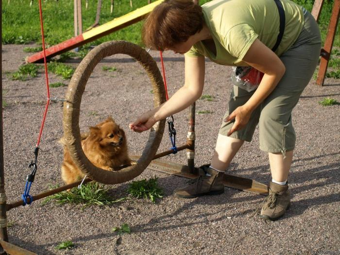 собака учится прыгать через кольцо