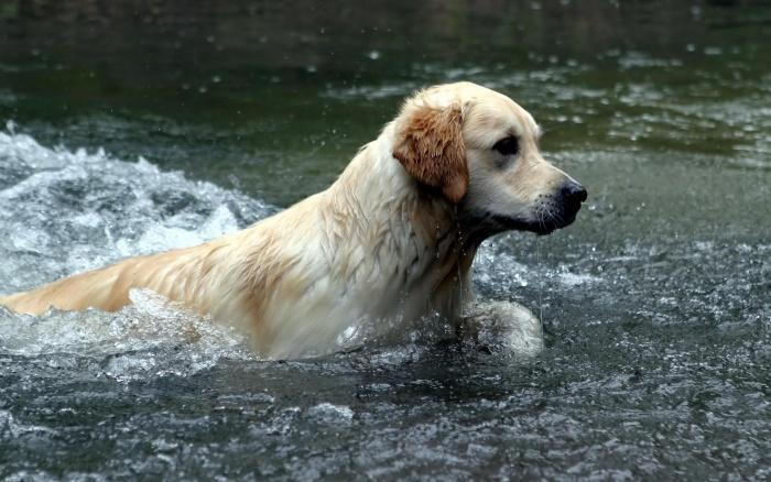 лабрадор плавает