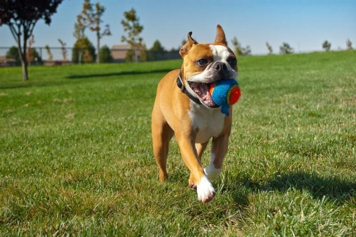 собака приносит мячик