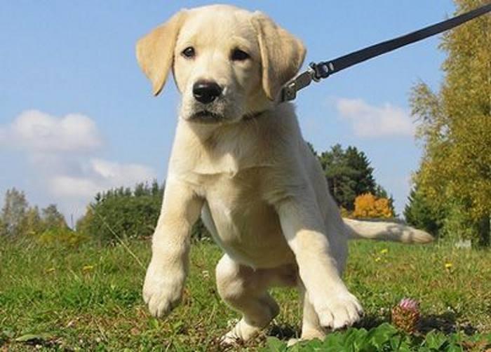 воздействие на собаку с помощью поводка