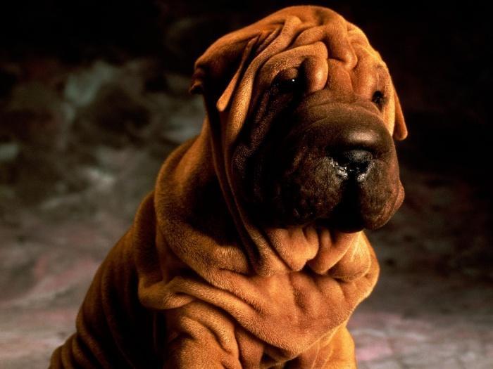 Выяснилось, что некоторые породы собак более склонны к развитию рака