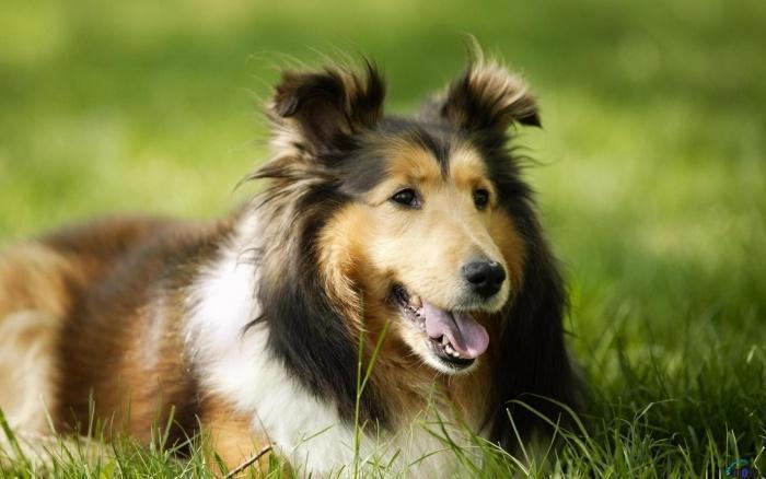Собака Лесси