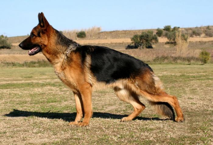 Дисплазия суставов собаки