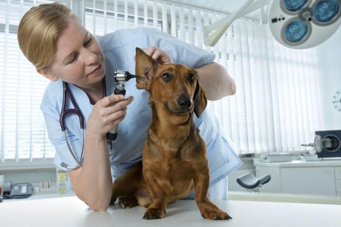 Осмотр ушей у ветеринара