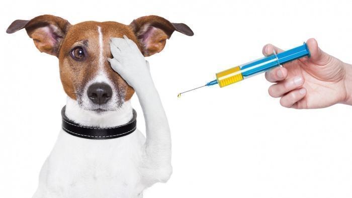 Лечение собачьего гепатита