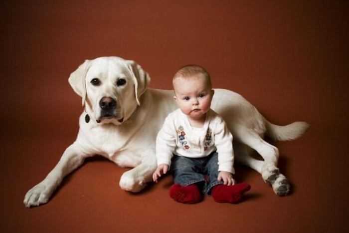 Обожает лабрадор детей и это чувство взаимное