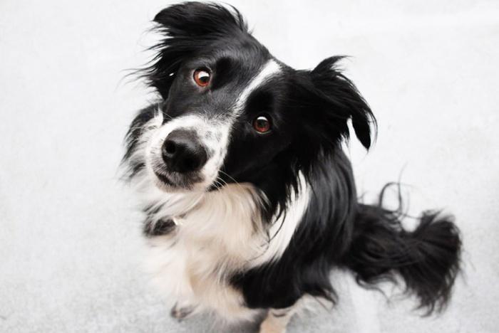 Лидирует в рейтинге самых верных собак! Только верная собака верна нам до конца.