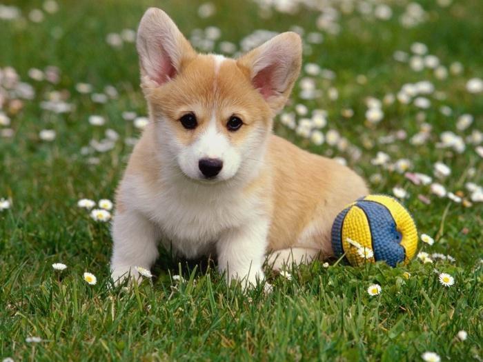 Вельш корги пемброк - щенок