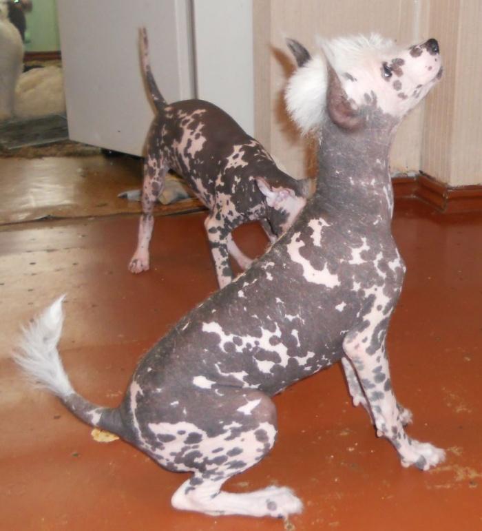 Китайская хохлатая собака - эмоции в вашем доме.