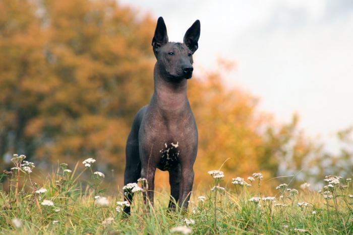 Мексиканская голая собака почти не болеет и это видно!