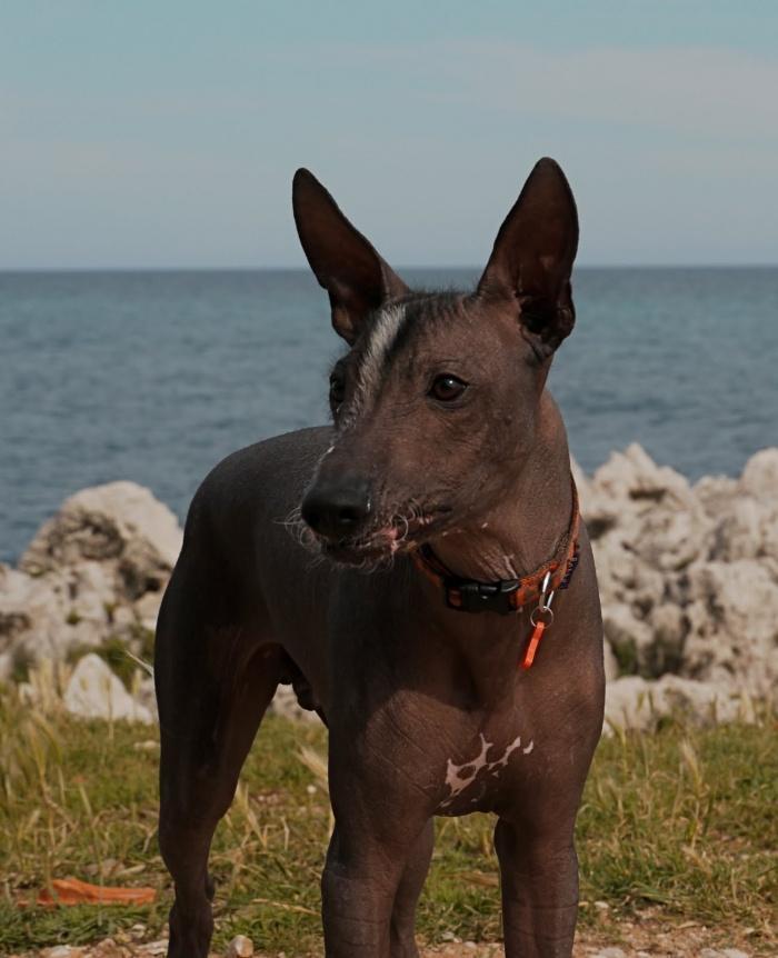 Перуанская голая собака нуждается у защите нежной кожи