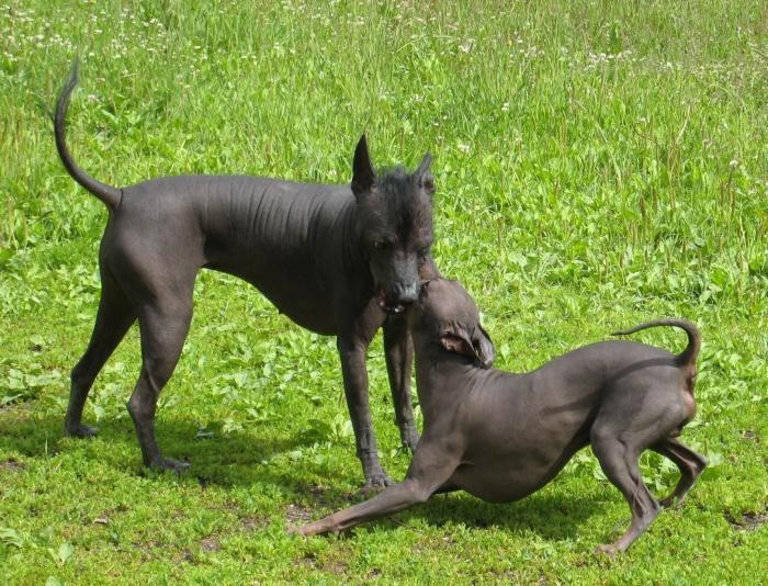 Перуанская голая собака - веселый друг семьи