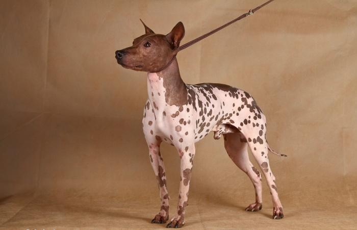 Американский голый терьер - лучшая собака для дома