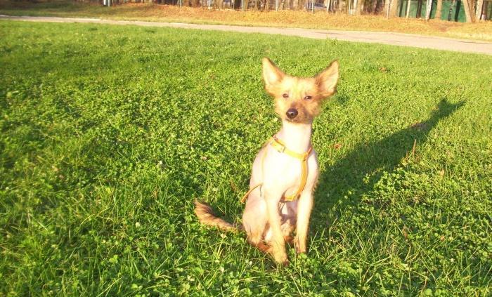 Мексиканская голая собака - верный друг