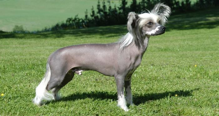 Китайская хохлатая собака - озорной друг хозяина.