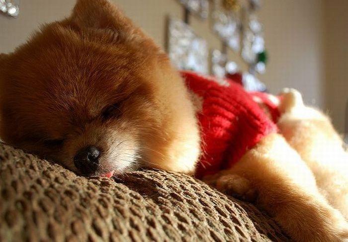 Померанский шпиц Бу спит и дразнится во сне язычком