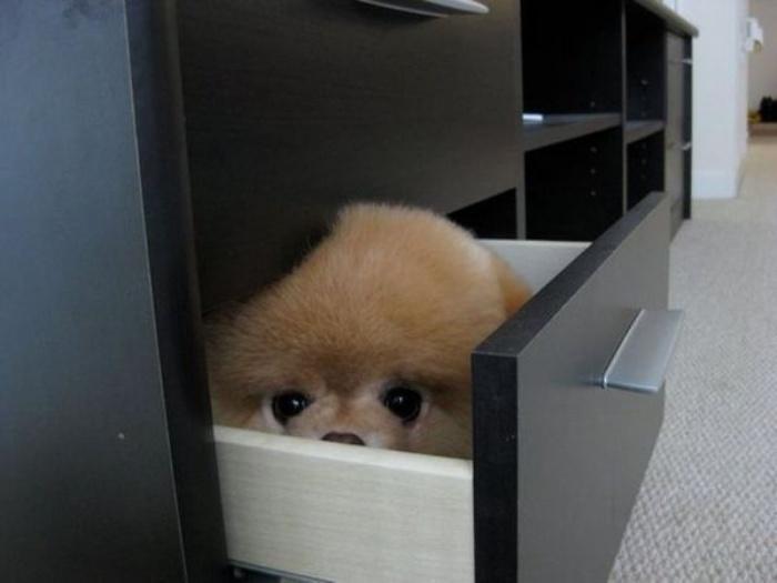 Померанский шпиц Бу в ящике шкафа