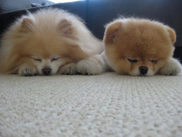Померанский шпиц Бу с подружкой спят