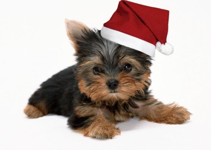 Йоркширский терьер в новогодней шапочке