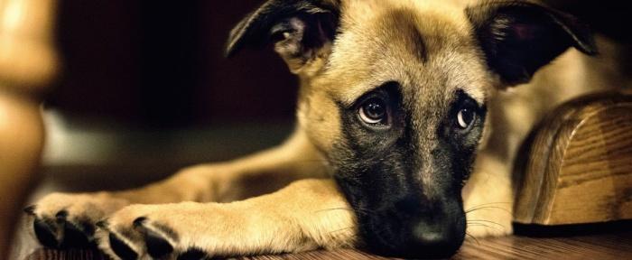 Собаки могут выглядеть пристыженными, но они не чувствуют вину