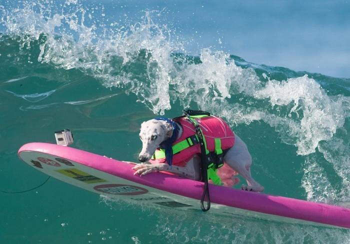 Соревнование по серфингу среди собак