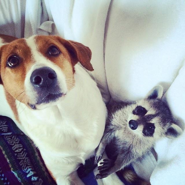 Детеныша енота усыновили собаки и теперь он считает себя одной из них