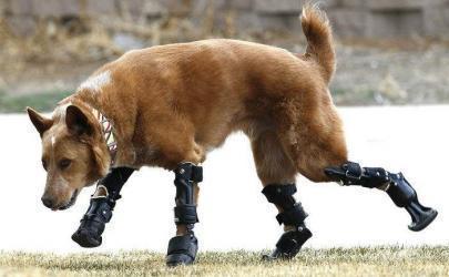 Первая в мире собака с протезами