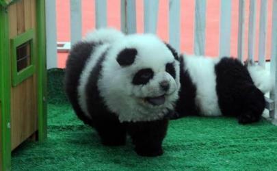 Собаки-панды стали самыми популярными питомцами в Китае
