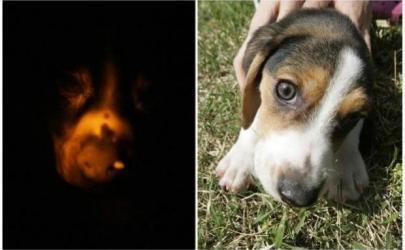 Искусственный иммунитет у собак