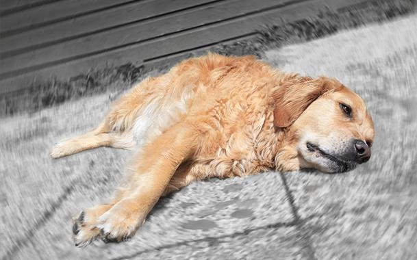 Чумка у собак, собачья чума