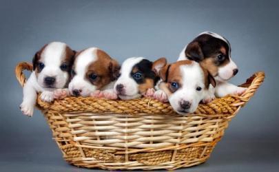 Вязка, беременность и роды у собак