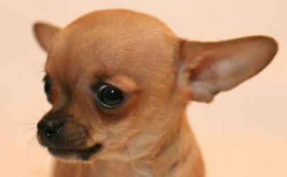 ТОП-10 самых маленьких собак