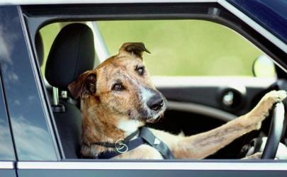 Внимание! Собаки за рулем!