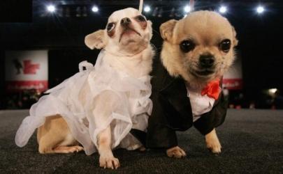Собаки и их костюмированные свадьбы