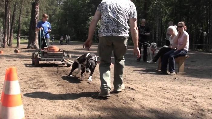 Вейтпуллинг - спорт выносливых собак