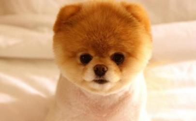 Померанский шпиц Бу - самая популярная собака интернета