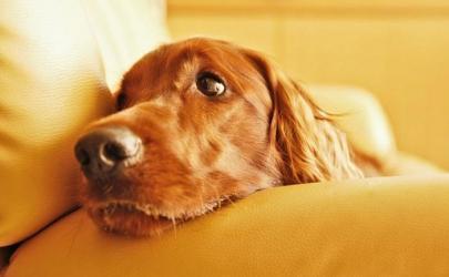 Стоит ли кастрировать собаку