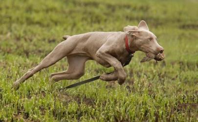 Как тренируют охотничьих собак