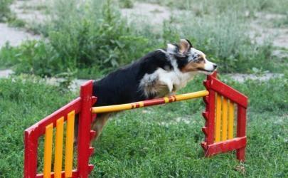 Подготовка собаки к аджилити