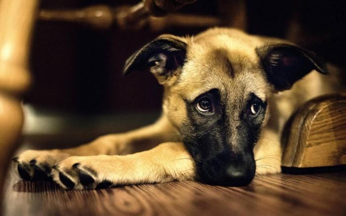 Тревожные симптомы у собак